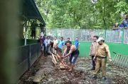 Kabola Alor Gempar, Buaya Penangkaran yang Dicuri Lepas ke Pemukiman hendak Menerkam Ternak