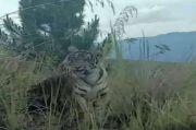 Heboh, Harimau Berkeliaran di Pinggir Jalan di Kerinci Jambi