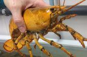 Nelayan di Teluk Maine Temukan Lobster Langka Berwarna Kuning