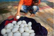 Warga Lamongan Temukan Puluhan Diduga Telur Buaya di Bantaran Bengawan Mati