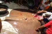 PALI Geger, Ikan Pari Langka Seberat 150 Kg Ditangkap di Sungai Lematang