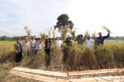 Didukung Penuh Prabowo, Lahan Ujicoba Pertanian Presisi Panen Padi Perdana