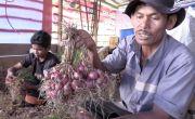 Petani Food Estate Hortikultura di Humbahas Mulai Panen