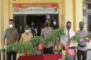 Polres Jayapura Temukan Ladang Ganja di Dosay, Sentani Barat