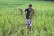 30 Ribu Hektare Lahan Pertanian di Lampung Sudah Diasuransikan