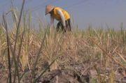 5 Hektar Sawah di Bulukumba Terancam Gagal Panen, Ini Sebabnya