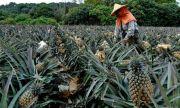 Buah Terlarang: Rakyat Taiwan Diminta Makan Lebih Banyak Nanas