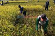 Produksi Padi di Jawa Timur Selama 2020 Mencapai 9,94 Juta Ton