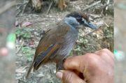 Dianggap Punah 170 Tahun Lalu, Burung Black Browned Muncul di Hutan Kalimantan