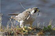 Ilmuwan Menemukan Bukti Terkuat Tentang Gen Migrasi Pada Burung