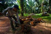 Industri Kelapa Sawit Diklaim Kebal Pandemi, Terus Menopang Ekonomi Nasional
