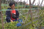 Petani Resah dan Merugi, Marak Aksi Pencurian Cabai Rawit Siap Panen