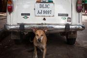 Polisi India Tangkap Seorang Pria karena Perkosa Anjing Liar