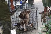 8 Elang Langka dan Burung Julang Emas Milik Gubernur Aceh Disita BKSDA