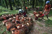 El Nino Bikin Harga Minyak Sawit Melambung Tinggi