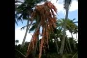 Video Pohon Kelapa Hancur dan Sapi Mati Hebohkan Warga Aceh