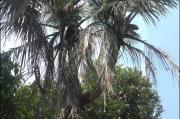Aneh dan Unik, Ada Pohon Kelapa Bercabang 9 di Jepara