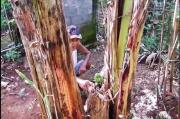 Batang Pisang Gemparkan Yogyakarta, Sudah Ditebang dan Membusuk Namun Tumbuh Buah Menghadap ke Atas