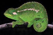 Spesies Bunglon Baru Ditemukan di Pegunungan Bale Ethiopia