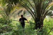 Potensi Ekonomi Lidi dan Pelepah Sawit di Riau Mulai Dilirik