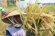 Amankan Harga, BUMN Siap Serap Beras Hasil Panen Petani