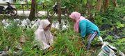 Kelompok Tani Wanita Makmur Jaya Kembangkan Budidaya Jahe Merah
