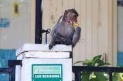 Diserang Monyet Liar, Bocah 4 Tahun Derita 22 Jahitan di Kepala
