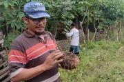 Kisah Sukses Petani Porang di Blora Ini, Bermodal Awal Rp7 Juta Kini Berpenghasilan Ratusan Juta Rupiah