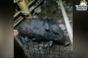 Seekor Babi Muncul di Sawangan Depok, Netizen: Babi Nyari THR Itu Mah...