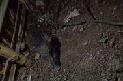 Polisi Periksa 9 Warga Terkait Babi Jadi-jadian di Sawangan