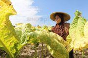 Sumbangan ke Negara Besar, Ekspor Hasil Tembakau Perlu Perlindungan dan Insentif