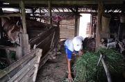 Miris! Diputus Tunangan, Rasdi Terpaksa Dua Tahun Tinggal di Kandang Sapi