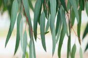 Eucalyptus Jadi Kandidat Kuat yang Berpotensi Cegah Covid-19