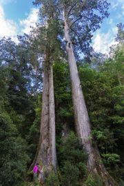 Ada Pohon di Taiwan yang Dijuluki Pohon Menyentuh Bulan