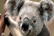 Peneliti Australia Uji Coba Alat Pendeteksi Wajah Koala
