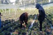 Gunung Bromo Semburkan Belerang, Tanaman Strawbery Petani Tengger Rusak Parah