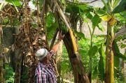 Tak Lazim, Tandan Pisang di Majalengka Muncul di Tengah Pohon