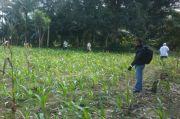 Petani Jagung Lutra Gunakan Benih yang Sudah Penuhi Standar Mutu