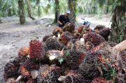 Surati Jokowi, Asosiasi Petani Sawit Minta Perpanjang Moratorium Sawit