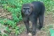 Kera Macaca Maura Serang Anak-anak di Desa Borimasunggu