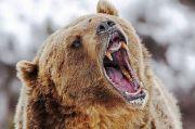 Beruang Grizzly Teror Seorang Pria Selama Berhari-hari di Alaska