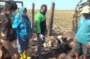 Menyedihkan! Kandang Terbakar Hebat, 5 Kerbau Mati Terpanggang di Jepara