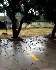 Cirebon Gempar, Ratusan Burung Pipit Berjatuhan dan Mati Mendadak di Balaikota