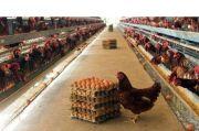 Insan Perunggasan Berharap Kemensos Masukkan Telur dan Ayam dalam Bansos