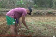 Minim Apresiasi, Atlet Peraih Emas PON Papua Asal Tuban Ini Kembali Bertani di Ladang Orang Tua