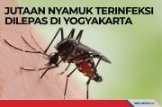 Jutaan Nyamuk Terinfeksi Wolbachia Dilepas di Yogyakarta