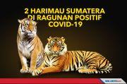 2 Harimau Sumatera di Taman Margasatwa Ragunan Positif Covid-19