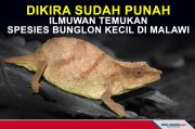 Dikira Sudah Punah, Bunglon Kerdil Chapman Ditemukan di Malawi