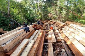 2 Aktor Pembalakan Liar Hutan Kalimantan Jadi Tersangka