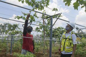 SIG dan Balitjestro Budidayakan Tanaman Buah di Lahan Green Belt Pabrik Tuban